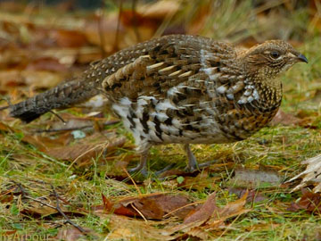 Ruffed Grouse and Woodcock Accreditation Training Event