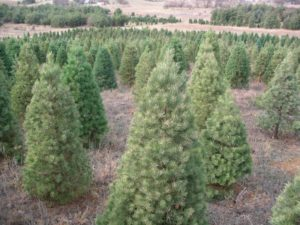 Appraising Christmas Trees