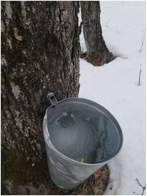 Steigerwaldt 2020 Maple Syrup Report – First Edition